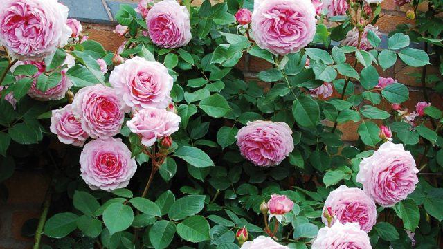 ozyw ogrod sadzac roze pnace